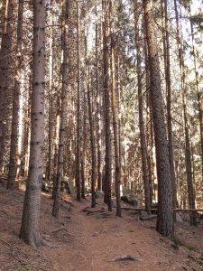 il bosco di pini con blocchi di rocce sparsi quà e là pervaso dai raggi del sole al tramonto