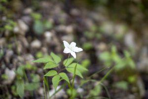 Fiore bianco selvatico a cinque petali